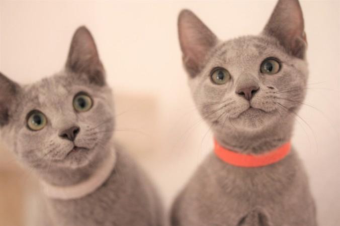 gato azul ruso barcelona russian blue kitten gato gris 01