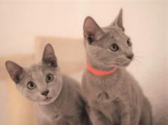 gato azul ruso barcelona russian blue kitten gato gris 02