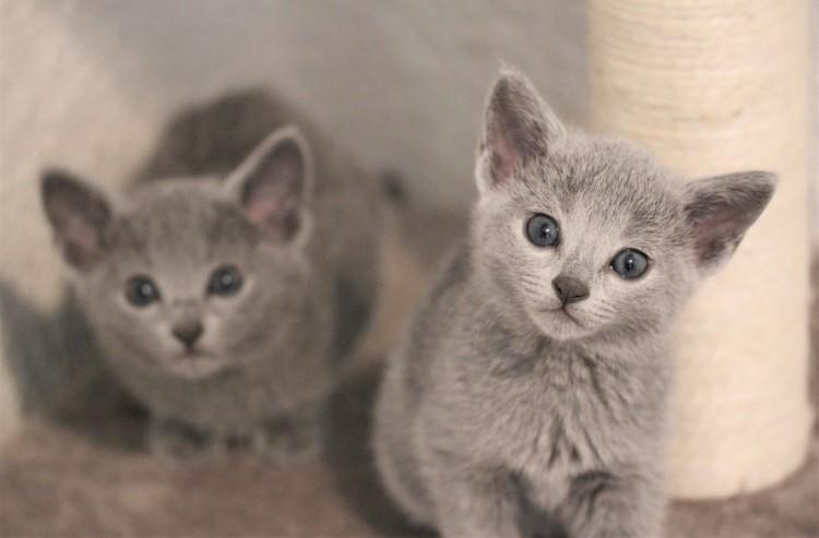 gato azul ruso barcelona russian blue kitten gato gris 04.JPG