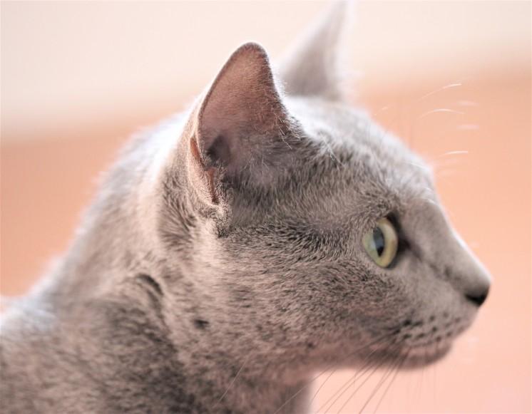 gato azul ruso barcelona russian blue kitten gato gris Arcadia 06