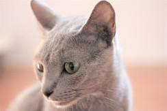 gato azul ruso barcelona russian blue kitten gato gris Arcadia 07