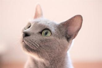 gato azul ruso barcelona russian blue kitten gato gris Arcadia 09