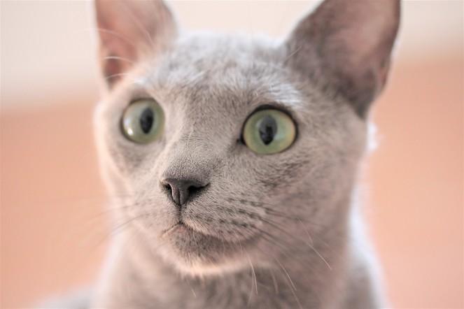 gato azul ruso barcelona russian blue kitten gato gris Arcadia 10