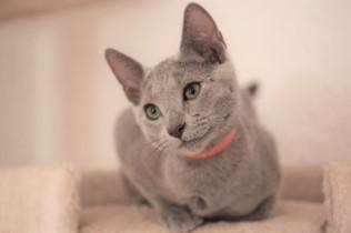 gato azul ruso barcelona russian blue kitten gato gris Feeling 02
