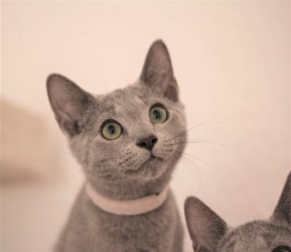 gato azul ruso barcelona russian blue kitten gato gris Freude 03