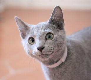 gato azul ruso barcelona russian blue kitten gato gris Freude 05