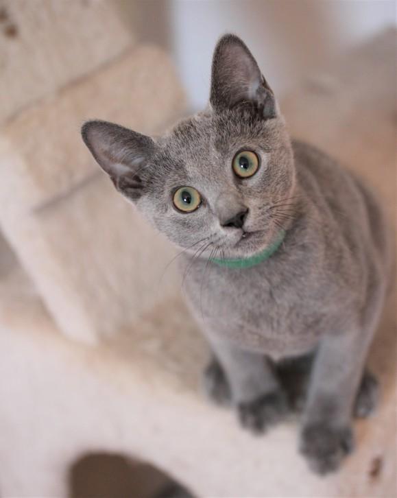 gato azul ruso barcelona russian blue kitten gato gris Fun 01