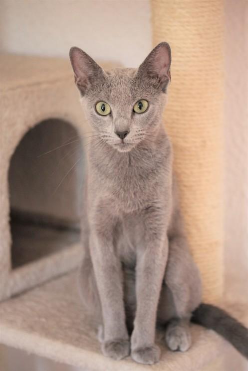 gato azul ruso barcelona russian blue kitten gato gris Gratitude 03