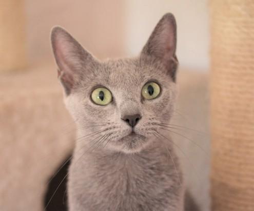 gato azul ruso barcelona russian blue kitten gato gris Gratitude 05