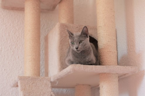 gato azul ruso barcelona russian blue kitten gato gris Gratitude 06