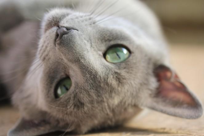 gato azul ruso barcelona russian blue kitten gato gris Grimoire 02