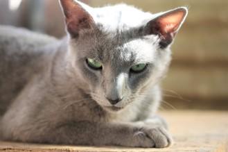 gato azul ruso barcelona russian blue kitten gato gris Grimoire 04