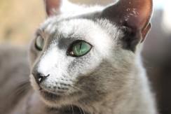 gato azul ruso barcelona russian blue kitten gato gris Grimoire 05