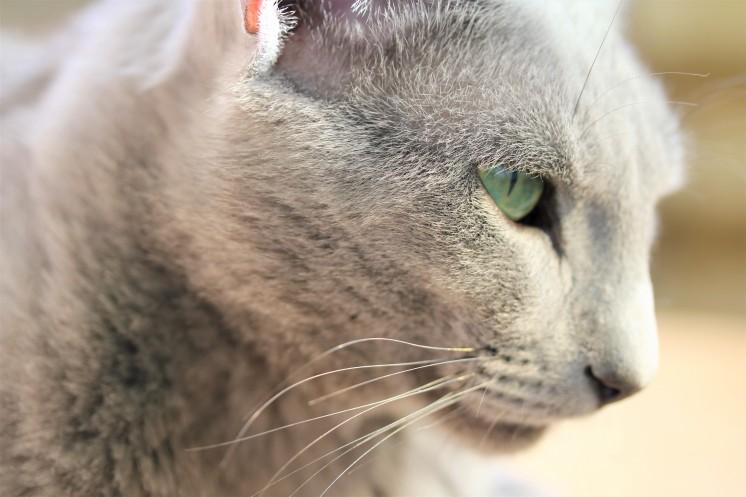 gato azul ruso barcelona russian blue kitten gato gris Grimoire 06