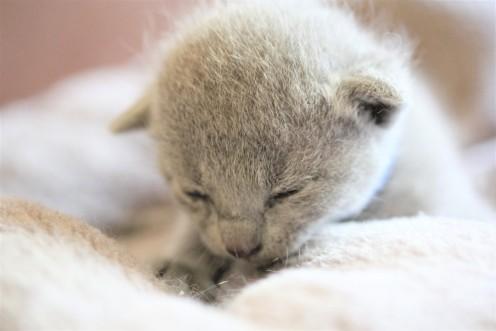 gato azul ruso barcelona russian blue kitten gato gris Grisha 01