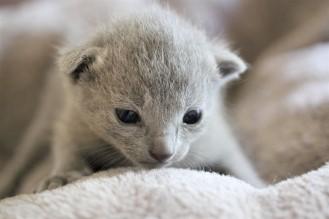 gato azul ruso barcelona russian blue kitten gato gris Iceberg 01