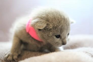gato azul ruso barcelona russian blue kitten gato gris Islandia 07