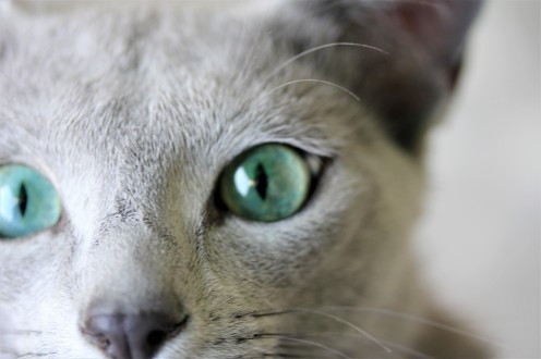 gato azul ruso barcelona russian blue kitten gato gris Nevsky 03