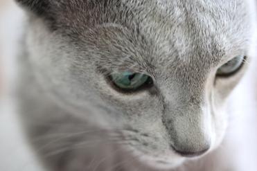 gato azul ruso barcelona russian blue kitten gato gris Nevsky 04