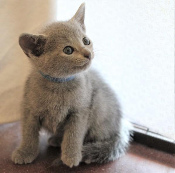 gato azul ruso barcelona russian blue kitten - Grisha 02