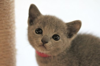 gato azul ruso barcelona russian blue kitten - Iron 03