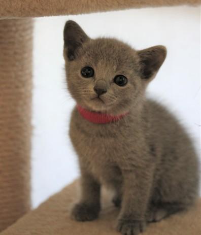 gato azul ruso barcelona russian blue kitten - Iron 05