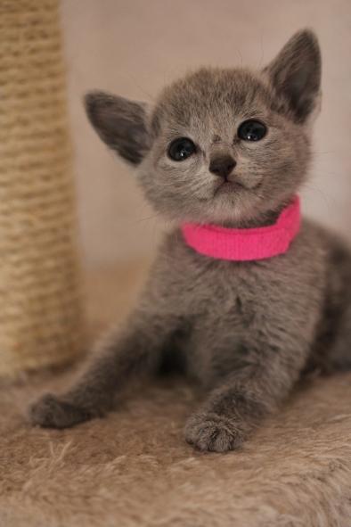 gato azul ruso barcelona russian blue kitten - Islandia 04