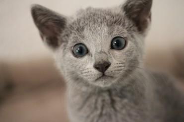 gato azul ruso barcelona russian blue kitten - Wanda 05