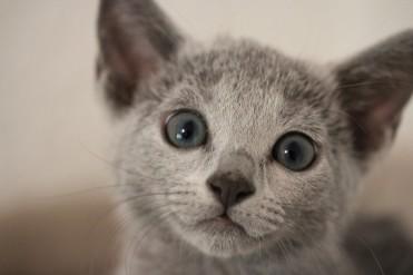 gato azul ruso barcelona russian blue kitten - Wanda 06