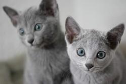 gato azul ruso barcelona russian blue cat - Camada H 04