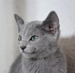 gato azul ruso barcelona russian blue cat - Duque 03