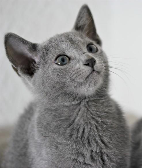 gato azul ruso barcelona russian blue cat - Duque 06