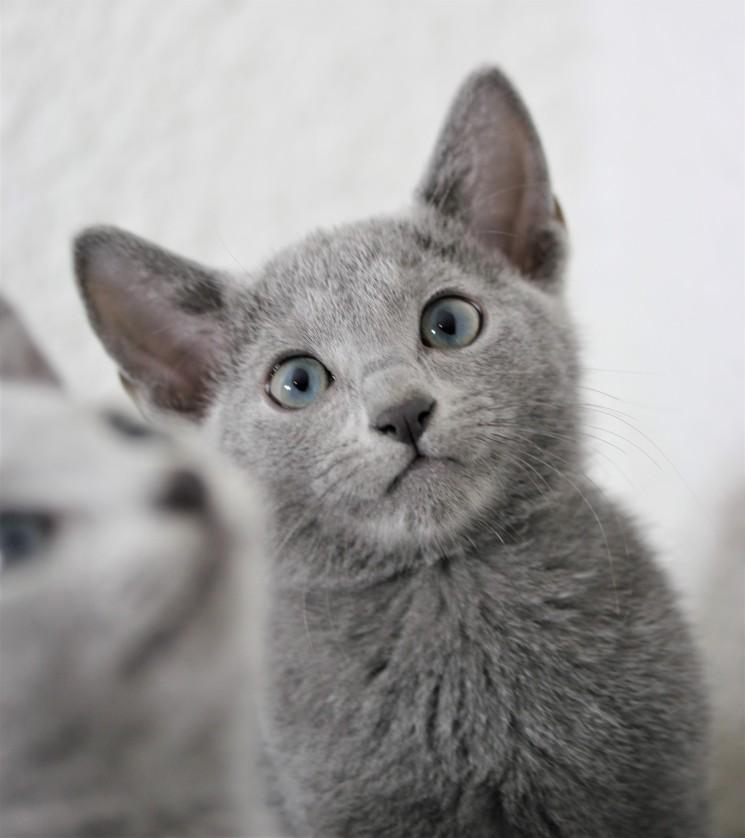 gato azul ruso barcelona russian blue cat - Duque 07