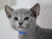 gato azul ruso barcelona russian blue cat - Grisha 03