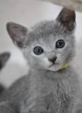 gato azul ruso barcelona russian blue cat - Iceberg 04