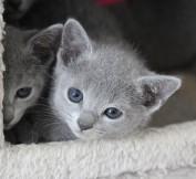 gato azul ruso barcelona russian blue cat - Iron 01