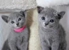 gato azul ruso barcelona russian blue cat - Iron 10-2