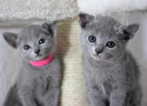 gato azul ruso barcelona russian blue cat - Iron 10-2