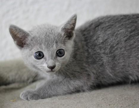 gato azul ruso barcelona russian blue cat - Isabella 02