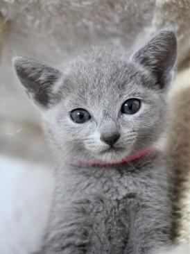 gato azul ruso barcelona russian blue cat - Islandia 07