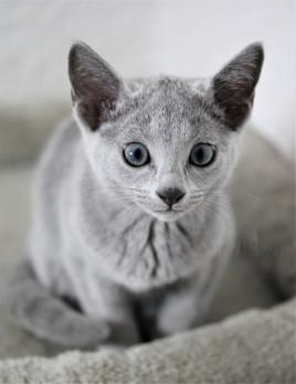gato azul ruso barcelona russian blue cat - Wanda 01