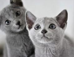 gato azul ruso barcelona russian blue cat - Wanda 05