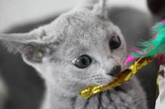 gato azul ruso barcelona russian blue cat - Wanda 08