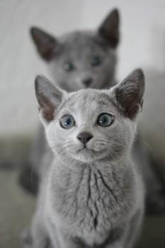 gato azul ruso barcelona russian blue cat - Wanda 09