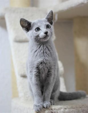 gato azul ruso barcelona russian blue Isabella 01
