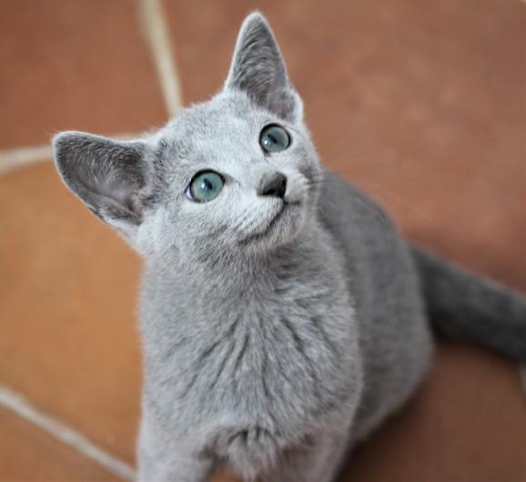 gato azul ruso barcelona russian blue Isabella 02