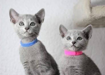 gato azul ruso barcelona russian blue kitten - 01