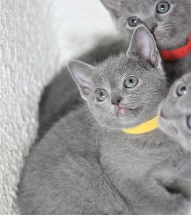 gato azul ruso barcelona russian blue kitten - Alma 01