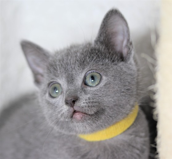 gato azul ruso barcelona russian blue kitten - Alma 05