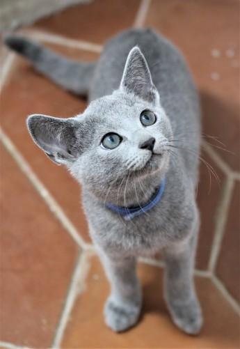 gato azul ruso barcelona russian blue kitten Grisha 03